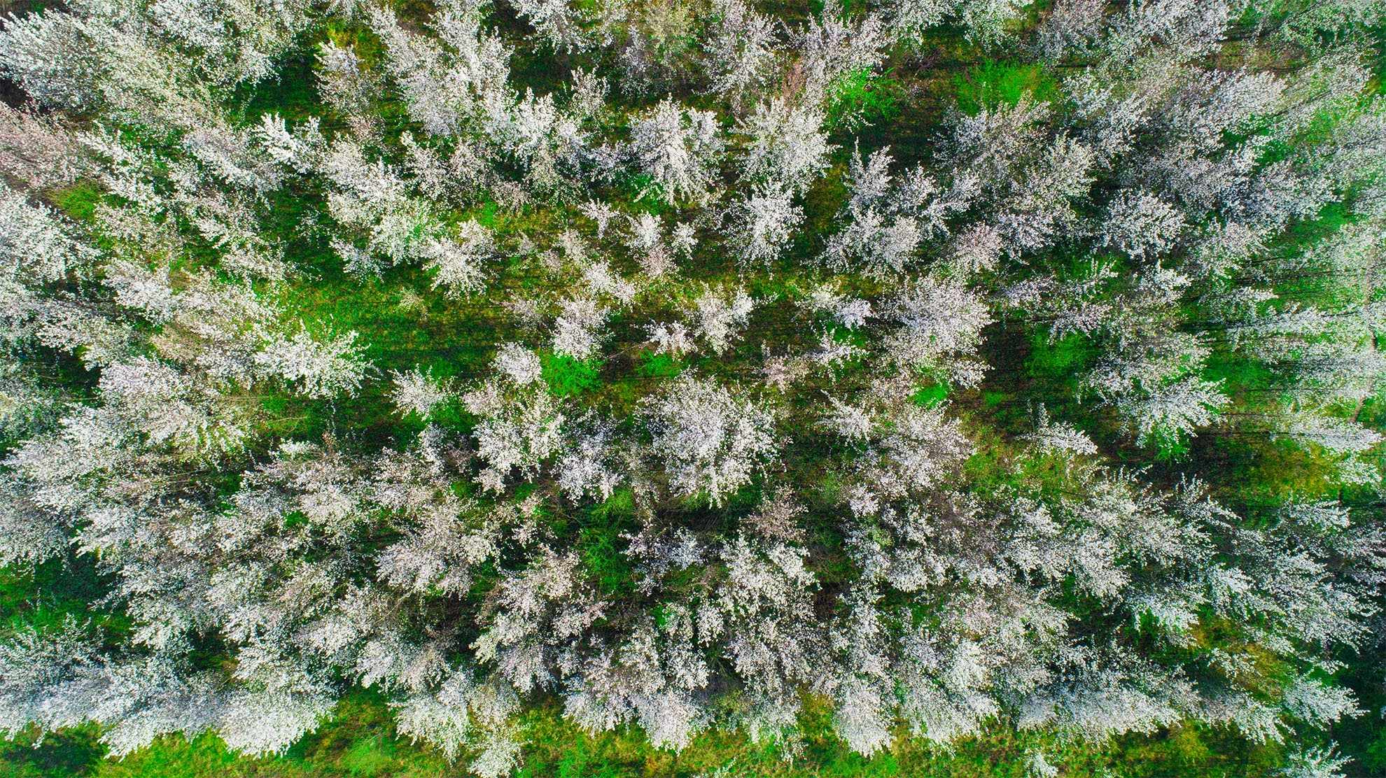 Drone Photograph of birds eye view of white flowering trees in the Spring